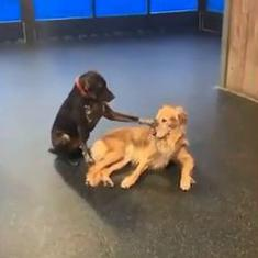 Watch: Ruby the dog pets other dogs at a daycare centre