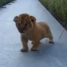 Remember Simba trying to roar in 'The Lion King'? The internet has rediscovered a real-life video