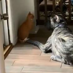 Watch: This clever cat won against a dog by locking it up in an enclosure