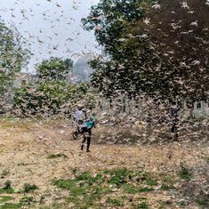 Swarm of locusts enter farmlands in Maharashtra, Uttar Pradesh