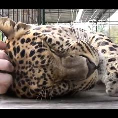 Watch: This rescued leopard loves getting its head rubbed