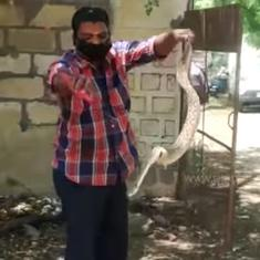 Watch: A snake rescuer was called in to remove one snake, but ended up finding 35 more