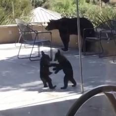 Watch: How baby bears wrestle when humans stay away but big bear watches over them