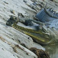 Eco India: How India's critically endangered gharial bounced back from the brink of extinction