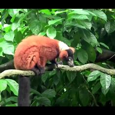Watch: Rare lemur twins are born at the Singapore zoo amid shutdown restrictions