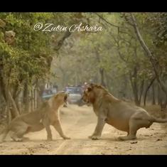 Caught on camera: Lioness and lion at Gir forest get into a heated argument