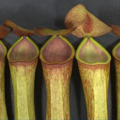 In North East India, people are plucking a carnivorous plant to extinction