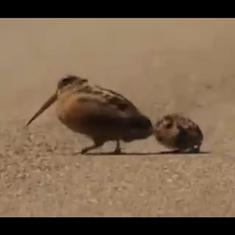 Watch: Worm-luring dance routine demonstrated  by American Woodcock bird to her chicks