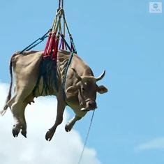 Watch: Farmer airlifts injured cow from a mountain in the Swiss Alps with a helicopter