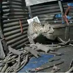 Watch: A leopard has given birth to four adorable cubs inside a hut in Igatpuri, Maharashtra