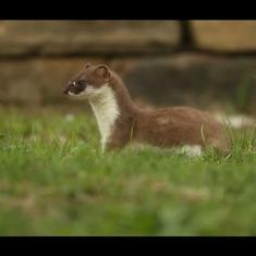 Caught on camera: How a mother stoat took her seven children from an old habitat to a new one
