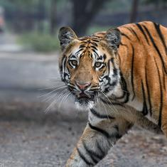 A thermal power plant in Maharashtra's Chandrapur has become home to a group of tigers
