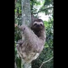 Watch: International Sloth Day videos celebrated the sleepy, slow-moving mammal