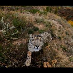Watch: Stunning videos of the endangered snow leopard