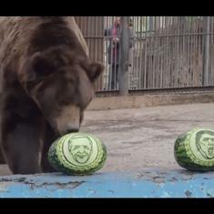 Watch: Big brown bear in Siberian zoo predicts Joe Biden's victory over Trump in US elections