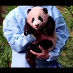 Watch: Meet Fu Bao or 'Lucky Treasure', the first panda to be born in South Korea