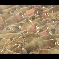 Giant walrus 'meet up': Arctic drone footage reveals thousands gathered in northern Russia