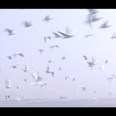 Watch: Migratory birds flock to the Ganga at Varanasi from Siberia