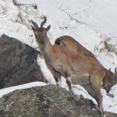In J&K, the world's largest mountain goat is under threat from poaching, overgrazing and insurgency