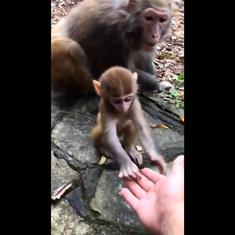 Watch: Mother monkey doesn't want adorable baby to accept food from suspicious human