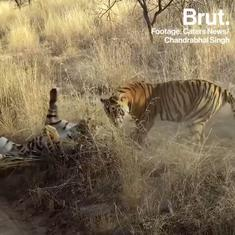 Watch: Tiger queen of national park challenged by twin daughters trying to claim her position