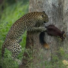 In photos: Squirrel's brush with leopard and other picks from Sanctuary Wildlife Photography Awards