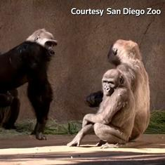 Watch: Gorillas at a zoo in San Diego, California test positive for Covid-19