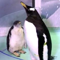 Video: Here's Alex, the first Antarctic penguin born in Mexico