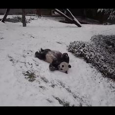 Caught on panda cam: Giant pandas slide downhill, somersault, play on snow day