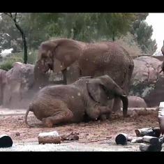 Watch: Elephants have fun in rare snowfall in Arizona