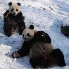 Watch: Twin pandas Bao Di, Bao Mei enjoy their first snow at a zoo in Belgium