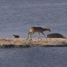 Watch: Deer stuck in a river and trying to escape is attacked by two menacing crocodiles