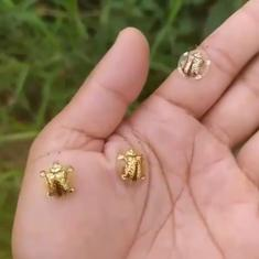 Watch: Tiny golden tortoise beetles scurry about on a human's palm and fingers