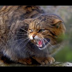 Watch: Meet the 'rarest cat in the world', the Scottish Wildcat or Highland Tiger