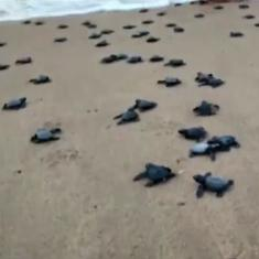Watch: Over 350 turtle hatchlings released into the sea in Andhra Pradesh