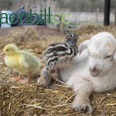 Watch: Baby goat, emu, and goose are the newest trio of friends at farm in England