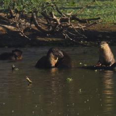 In an Andhra Pradesh bird sanctuary, an otter sighting has led to excitement – and questions