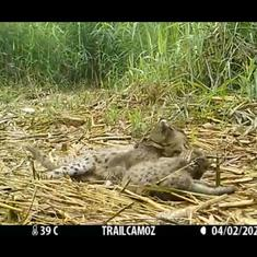 Watch: Fishing cat babies play with each other as mother relaxes, somewhere near Chilika Lake