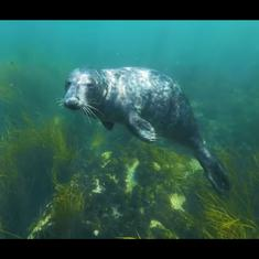 Watch: The fight to protect grey seals, one of the world's rarest species