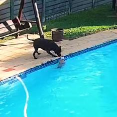 Watch: One pet dog rescues another from drowning in a swimming pool in South Africa