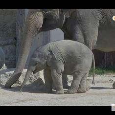 Watch: Otto the baby elephant ventures boldly outdoors as his mother and aunts take him exploring