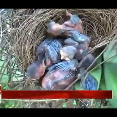 Watch: Wild elephants destroy all banana trees at a farm – except one with nests with tiny sparrows