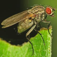 Infertility in flies shows we may be underestimating the impact of climate change on animals