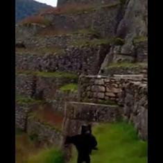 Caught on camera: Rare Andean bears spotted near the Machu Picchu citadel in Peru