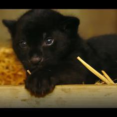 Watch: Meet the feisty, rare black jaguar cub born at The Big Cat Sanctuary in England