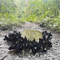 Watch: How butterflies form a 'mud puddle' to absorb fluids