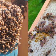 Honey bee colonies in South India are being affected by a viral disease first found in Thailand