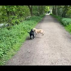 Watch: Labradors Olive and Mabel have no idea they are part of wildlife hunting commentary