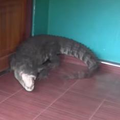 Watch: This crocodile entered a house. Harrowing video shows how it was captured