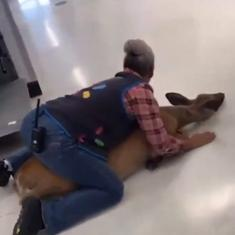 Watch: Deer enters shop, is skilfully pinned on the floor by an employee before being relased safely